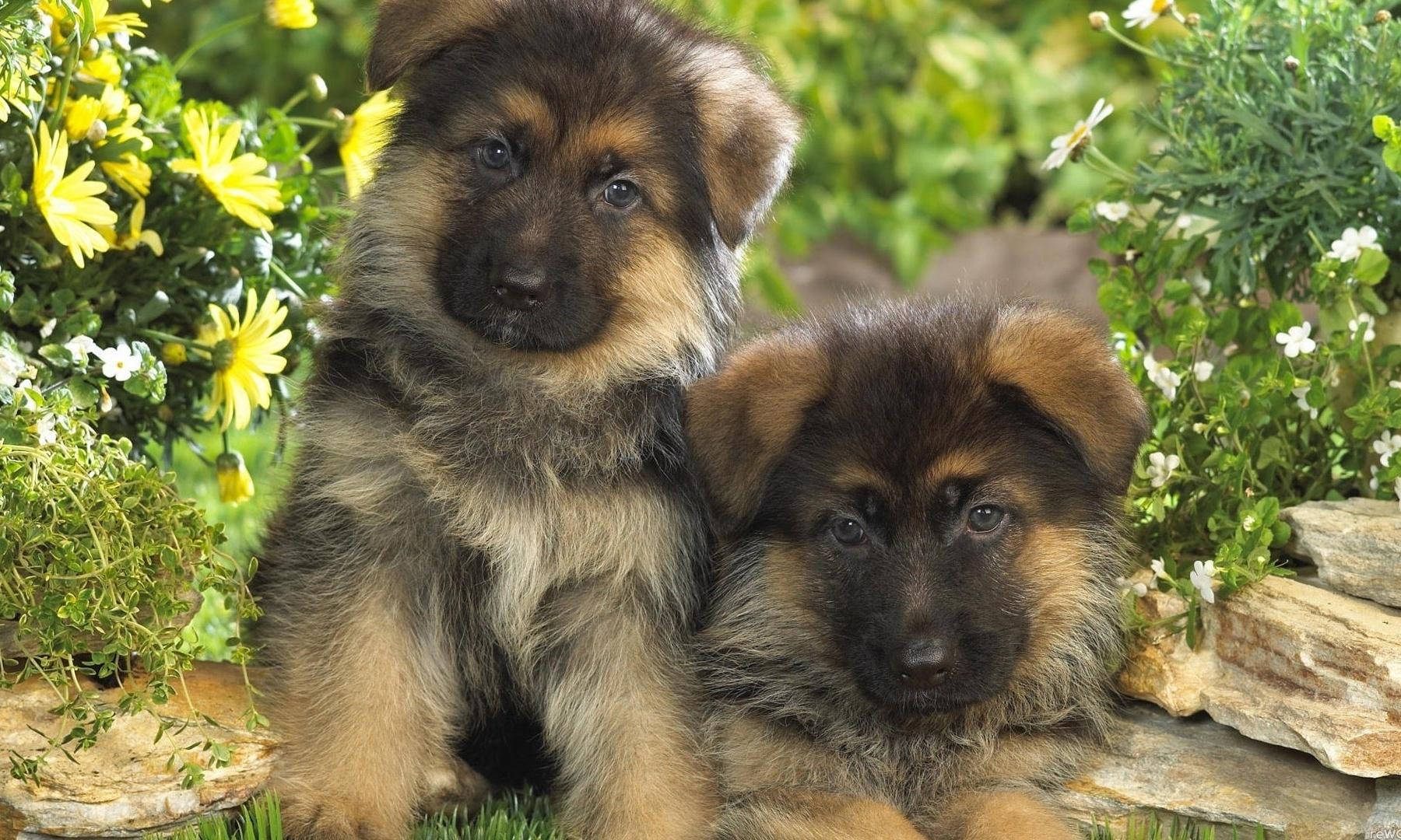 Fonds D 39 Cran Hd Chiens 2 Dogs Hd Wallpapers 2