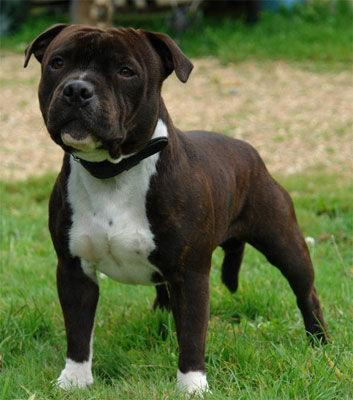 annuaire chi ens annonces chi ens staffordshire bull terrier staffie