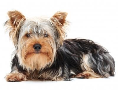 Yorkshire Terrier Siteduchien Com
